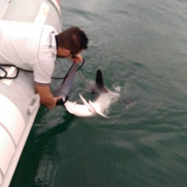 Squalo nel Golfo: Ecco il video della liberazione al largo delle acque di Scauri