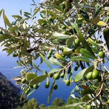 Gaeta: Ancora furti e danni alle Aziende Agricole per la produzione di Olio