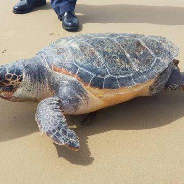 Un esemplare di Tartaruga Caretta Caretta sulla spiaggia di Sant'Agostino