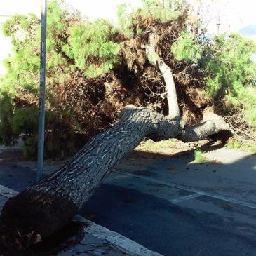 Gaeta: Cade albero a Via Lungomare zona Gaeta Medievale