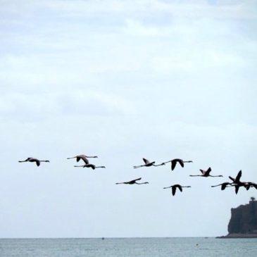 *FOTO* Oggi fenicotteri rosa in volo su Gaeta