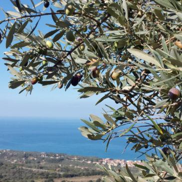 Furto di un'intera raccolta di Olive di Gaeta all'Azienda Agricola Cosmo di Russo